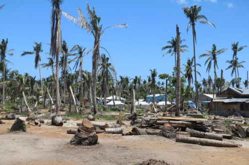 Coconut trees on the island of Bantayan will take a few more years to recover from the damage caused by Typhoon Haiyan. The Diocese of Davao supports a continuing relief and economic redevelopment project in Bantayan. Photo: Gideon Bustamante
