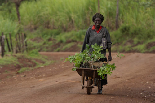 Margaret Achieng Adie wheels a cart full of passion fruit seedlings to her plot of land. She purchased these from her 427-member agricultural co-operative, the Manywa Fruit Growing Self-Help Group, which started with support from Episcopal Relief & Development's local partners the Anglican Church of Kenya and Anglican Development Services–Nyanza. The fruit she grows will provide her family with nutritious fresh food and a source of income from sale at the market. Photo: Mike Smith/Episcopal Relief & Development