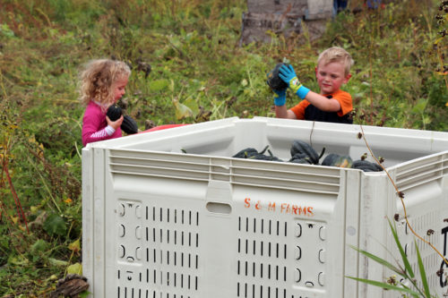 Two of the youngest volunteers load the bins with acorn squash during harvest at the Church of the Holy Cross, Redmond, Food Bank Farm in the Snohomish River Valley in western Washington. Photo: Dede Moore