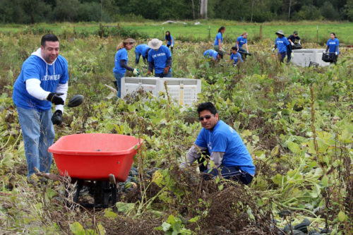 """United Way of King County """"Day of Caring"""" volunteers harvest acorn squash at the Church of the Holy Cross, Redmond, Food Bank Farm in the Snohomish River Valley in western Washington. Photo: Dede Moore"""
