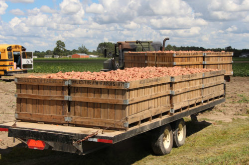 Farmworkers head to the fields early in the morning picking sweet potatoes by the bucket load to fill trucks like these. Photo: Christine McTaggart/Diocese of North Carolina