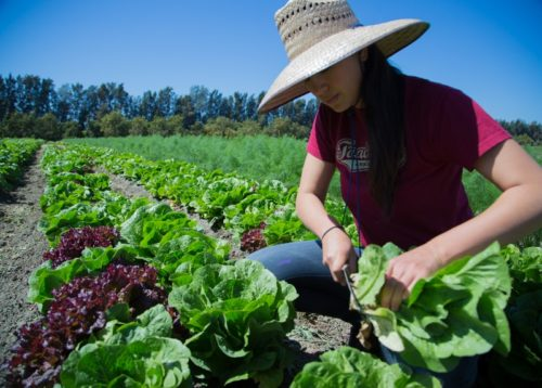 Abundant Table Episcopal Service Corps Intern Jeannette Ban harvests salad greens. The Abundant Table's origin is rooted in the Episcopal Service Corps, a partner of the Domestic and Foreign Missionary Society. Photo: The Abundant Table