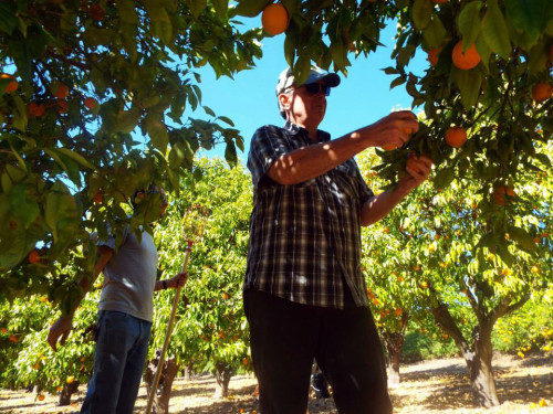 Tim Alderson, director de Semillas de Esperanza, recoge naranjas para la despensa del Centro de la Catedral. Foto, cortesía de la Diócesis de Los Ángeles.