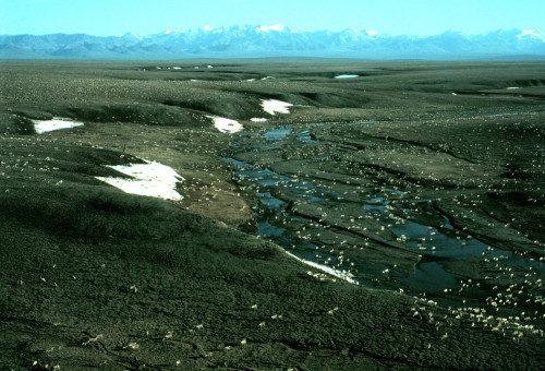 Una manada de caribúes Purcopine en la zona 1002 de la planicie costera del Refugio Nacional de la Vida Salvaje del Ártico, con las montañas Brooks en la distancia al sur. Foto de U.S. Fish and Wildlife Service.