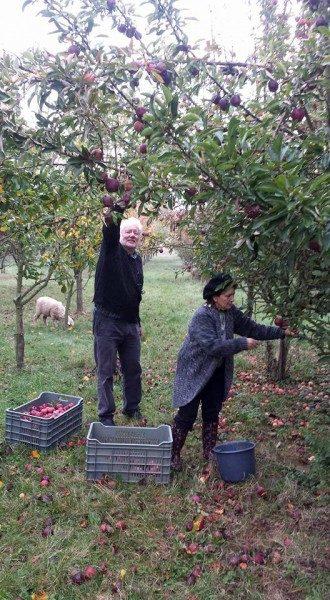 Lora y Arthur Bernabei recogen manzanas en su granja de 200 hectáreas en el sudoeste de Hungría antes de dirigirse a Nickelsdorf, Austria, donde están acogiendo a refugiados.