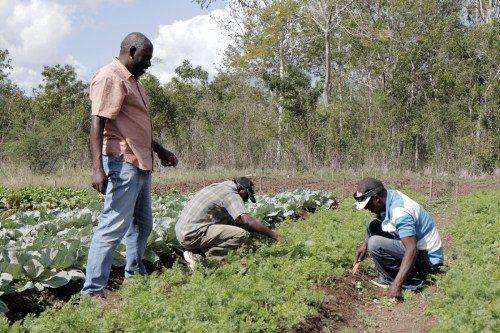 Étienne Saint-Ange, coordonnateur des opérations sur le terrain, parle avec des ouvriers qui désherbent les carottes dans le terrain test, où des plantes sont testées afin d'évaluer leur viabilité. Toutes les cultures de l'école sont biologiques. Photo: Lynette Wilson/Episcopal News Service