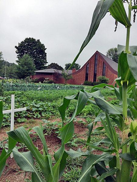 Cruces blancas que representan las víctimas de asesinato en la ciudad se ven en julio en medio de plantaciones de maíz y otros cultivos en el huerto exterior de la iglesia episcopal de San Albano en Indianápolis. Foto de Mike Scime/San Albano.