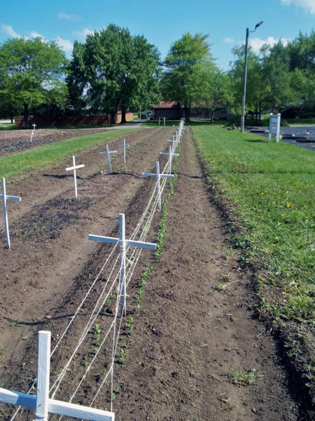 Memorial crosses are used to connect string to support the pea plants sprouting in May at St. Alban's Episcopal Church's Swords to Plowshares Peace Garden. Photo: Mike Scime/St. Alban's