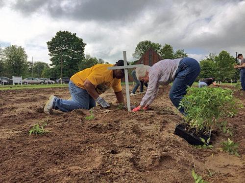 Voluntarios de iglesia episcopal de San Albano trabajan, a principios de junio, en torno a cruces conmemorativas en el trasplante de posturas de tomate. Foto de Mike Scime/San Albano.