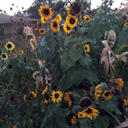 Sunflowers growing in Good Shepherd Mission's garden. Photo: Good Shepherd Mission/Facebook