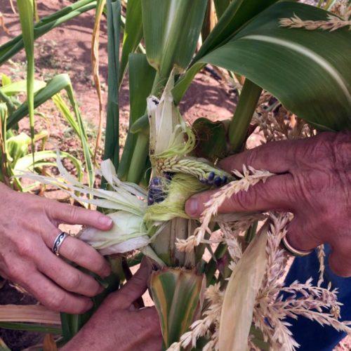La misión El Buen Pastor se ha dedicado al maíz azul, cuyo polen también desempeña un papel en las tradicionales ceremonias navajas. Foto de la Misión El Buen Pastor/Facebook.