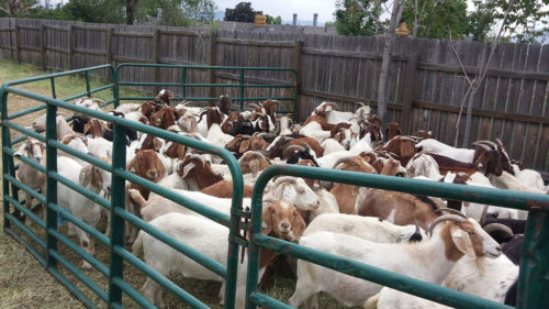 Goats in corral