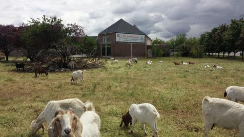 St. Stephen's goats