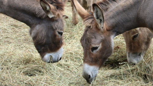 Donkeys eating